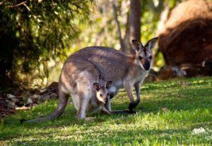 Kangaroo-Gruppen
