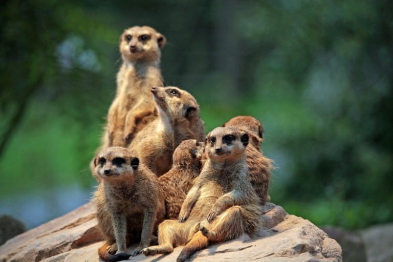 Aachener Tierpark Zoo WildfreigehegeMerrkatze